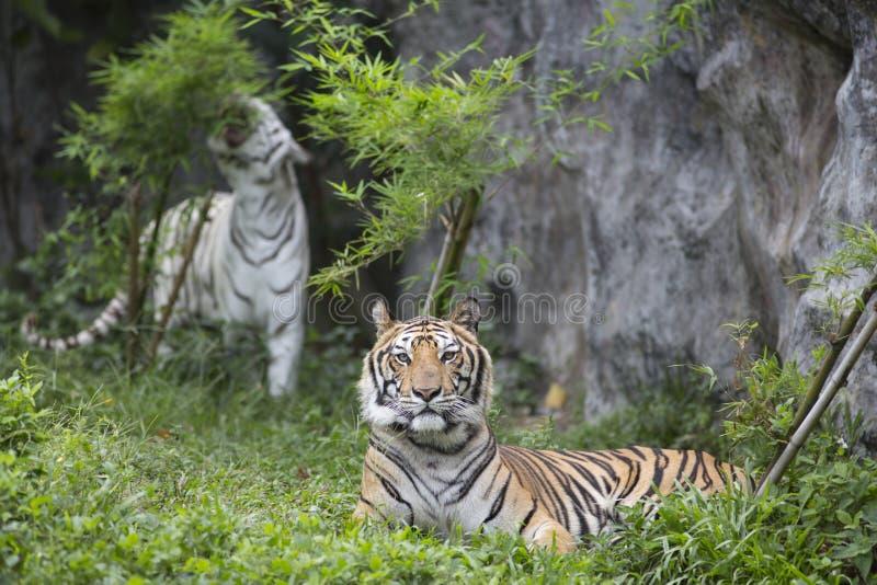 tijgers royalty-vrije stock fotografie