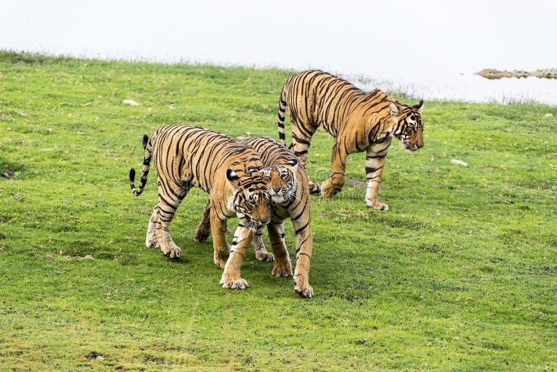 tijgers royalty-vrije stock foto's