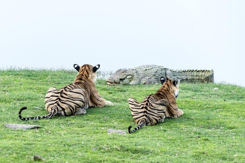Tijgers die op krokodil letten royalty-vrije stock foto