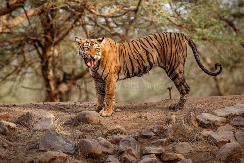 Tijgerwijfje in een mooi licht in de aardhabitat van het Nationale Park van Ranthambhore stock afbeeldingen