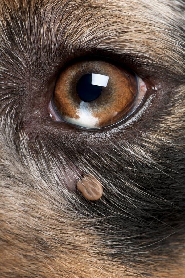 Tik in bijlage naast het oog van een Australische Herder stock afbeelding