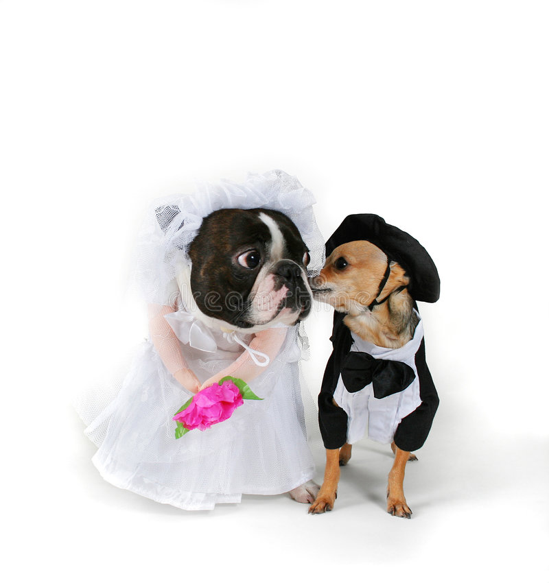 Til death us do part. A boston terrier and a chihuahua in wedding attire royalty free stock images