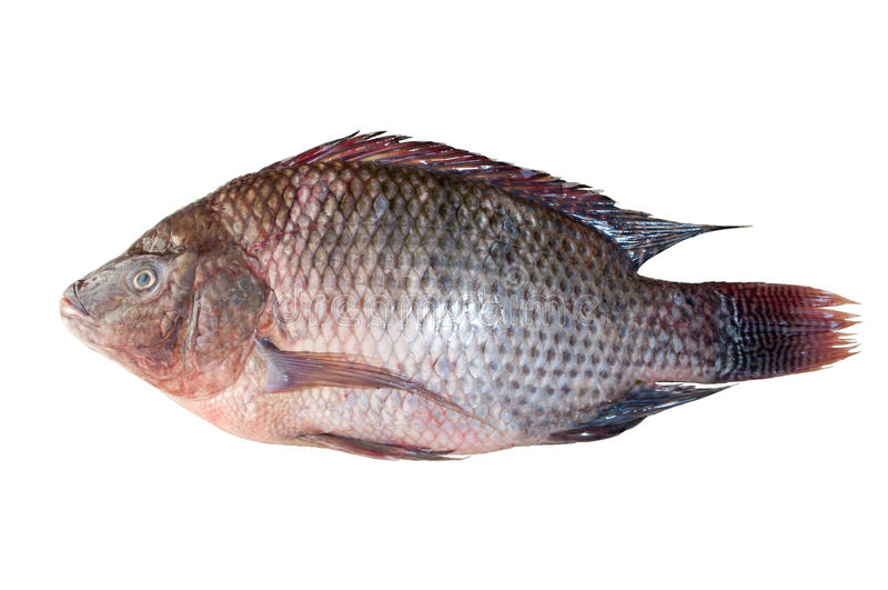 Download Tilapia stock image. Image of specie, water, fins, river - 19848059