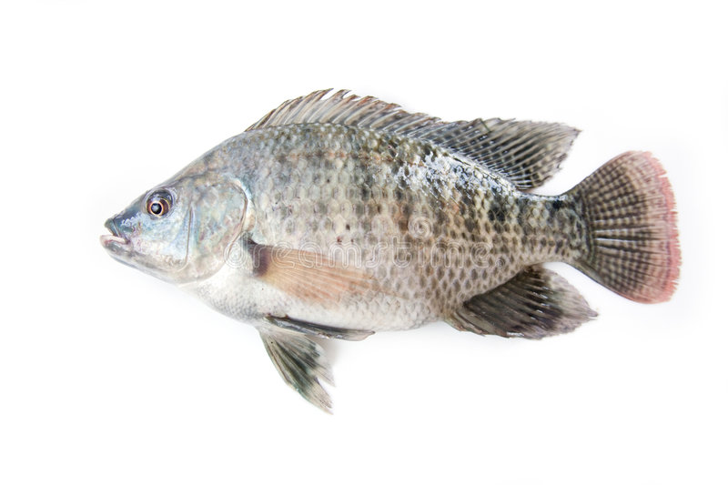 Tilapia. Fis. A fast growing freshwater fish farmed in Zambia Africa. Isolated on a white studio background
