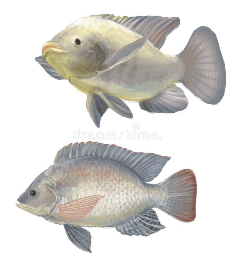 Tilapia de los pescados de agua dulce imagen de archivo