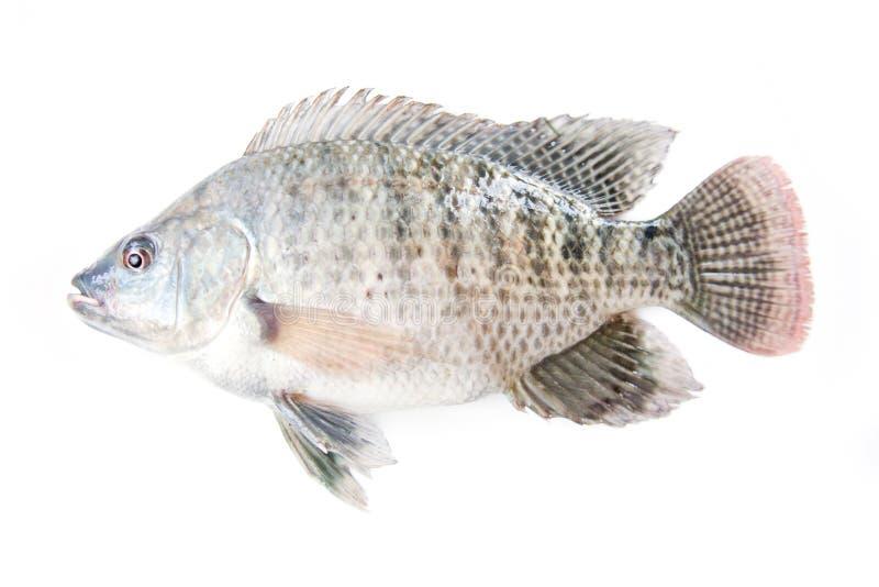 tilapia de poissons image libre de droits