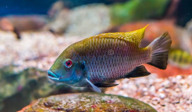 Tilapia deckerti ryba w zbli?eniu, Krytycznie zagra?aj?cy zwierz?cy specie od Cameroon w Afryka zdjęcie stock
