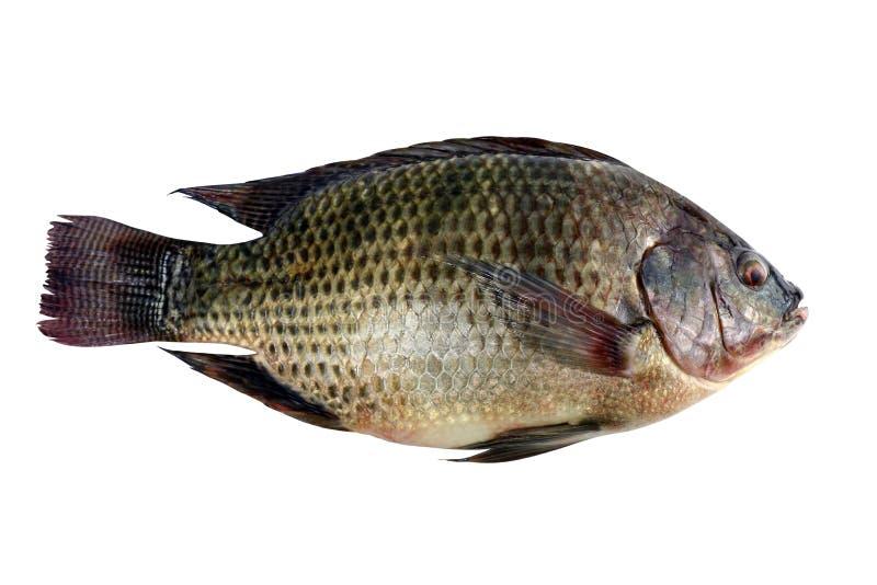 Tilapia, frischer Nil-Tilapiafisch lokalisiert auf weißem Hintergrund stockfoto