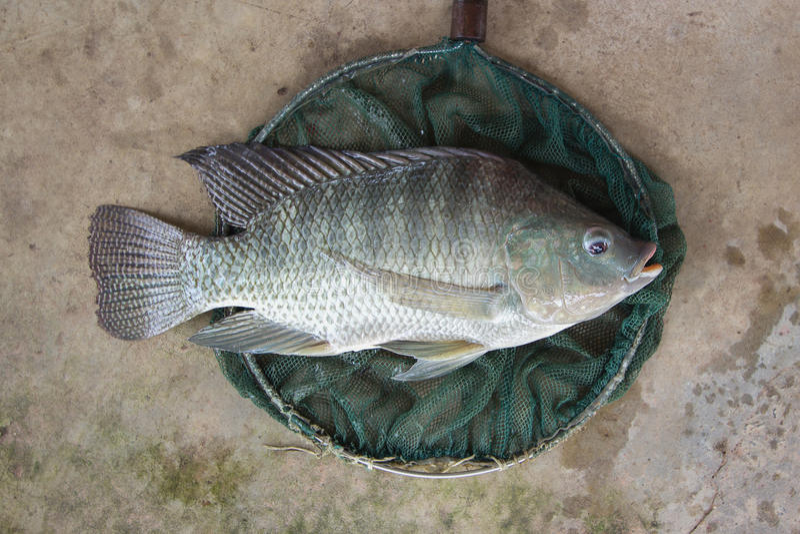 Tilapia oreochromis niloticus big size in fishing net for Big fishing net