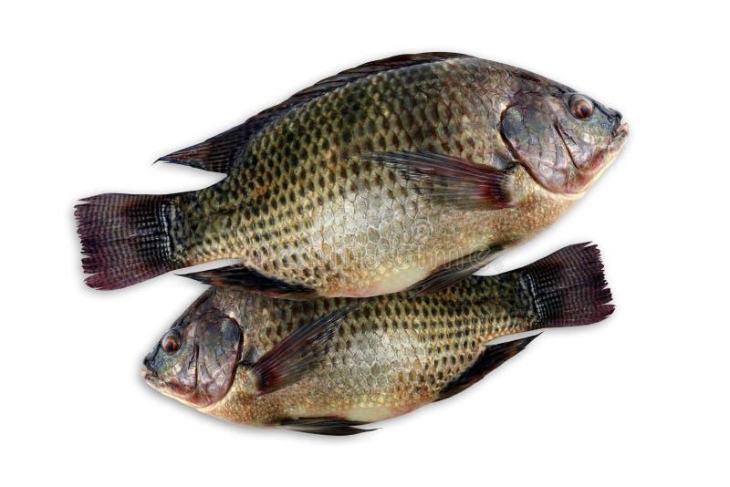 Tilapia, peixe fresco do tilapia de nile no fundo branco fotos de stock