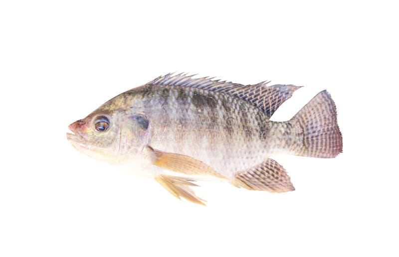 Tilapia van Nijl of oreochromisniloticus op witte achtergrond met het knippen wordt geïsoleerd, zoetwatervissen die royalty-vrije stock afbeeldingen