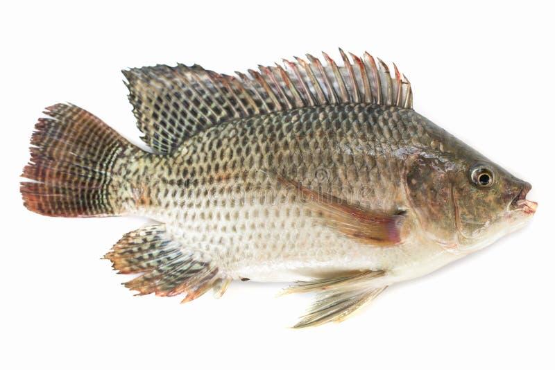 Tilapia van Nijl vissen die op witte achtergrond worden ge?soleerd, visvlees royalty-vrije stock foto