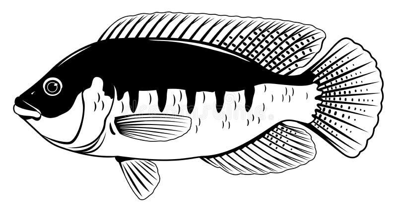 Tilapia Zwart-witte Vissen stock illustratie