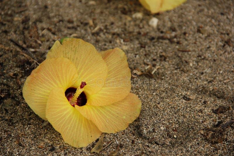 Tiliaceus del hibisco imágenes de archivo libres de regalías