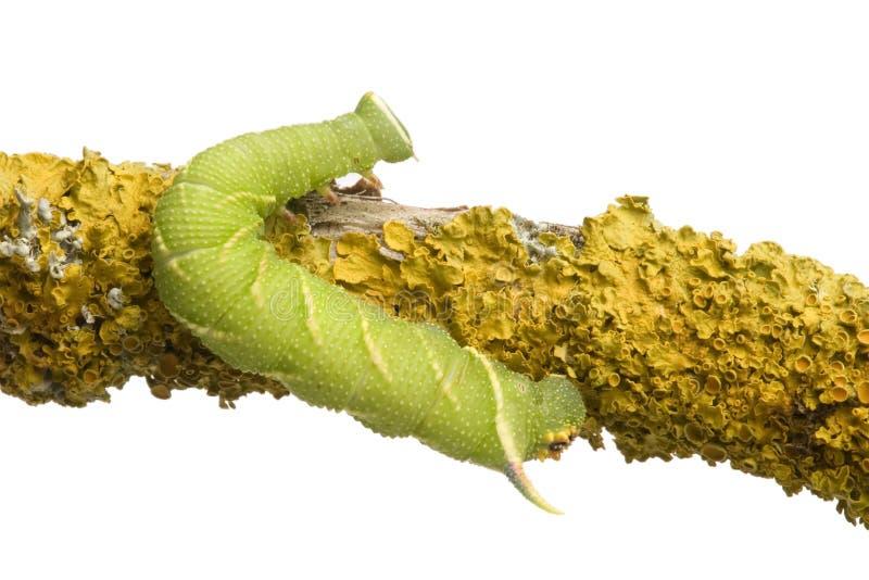 tiliae för mal för mimas för caterpillarhöklimefrukt royaltyfri fotografi
