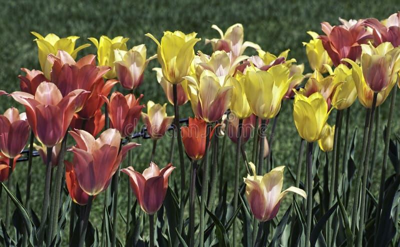 Download Tilip柔和的淡色彩 库存照片. 图片 包括有 四季不断, 郁金香, 相当, 黄色, 颜色, 系列, 风景 - 30325646
