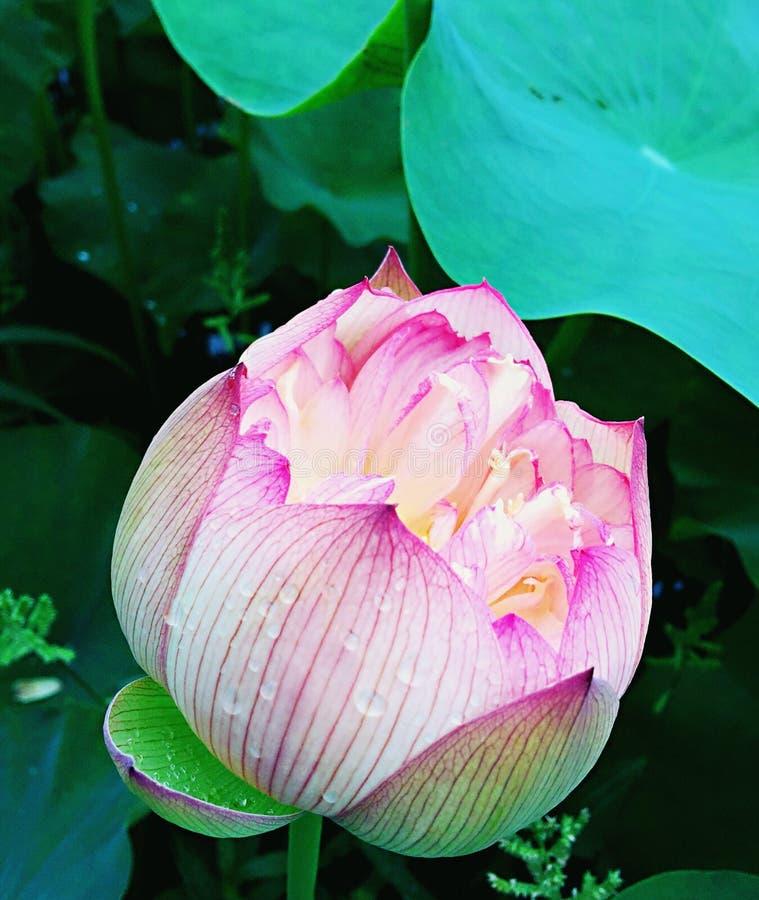 Till hälften blommande lotusblommablomma royaltyfri bild