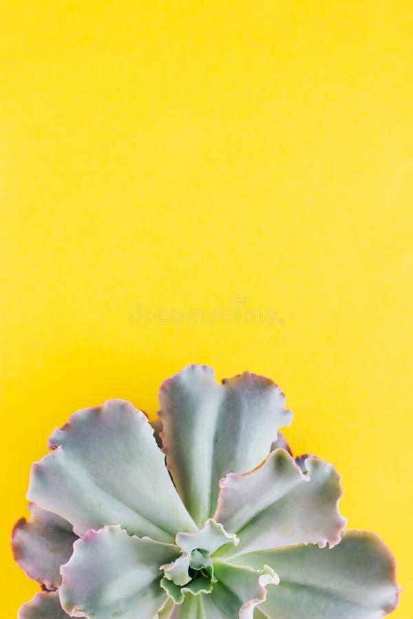 Till h?lften en suckulent v?xt p? en gul bakgrund royaltyfria foton