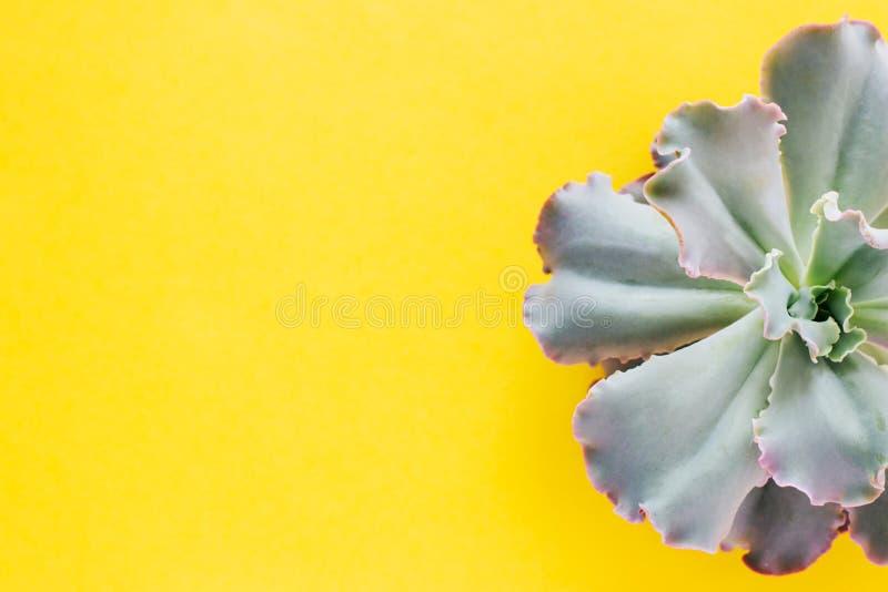 Till h?lften en suckulent v?xt p? en gul bakgrund fotografering för bildbyråer