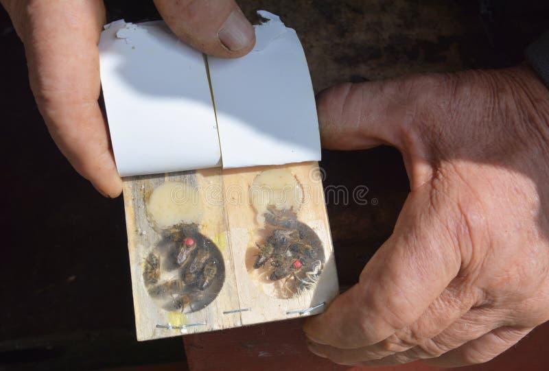 Till salu drottningbin Köpdrottning Honey Bees arkivbilder