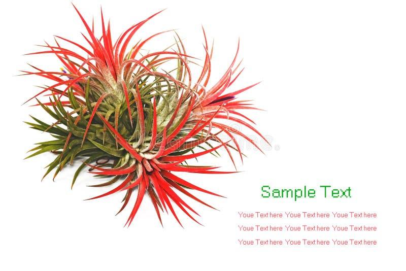Tillandsia photographie stock libre de droits