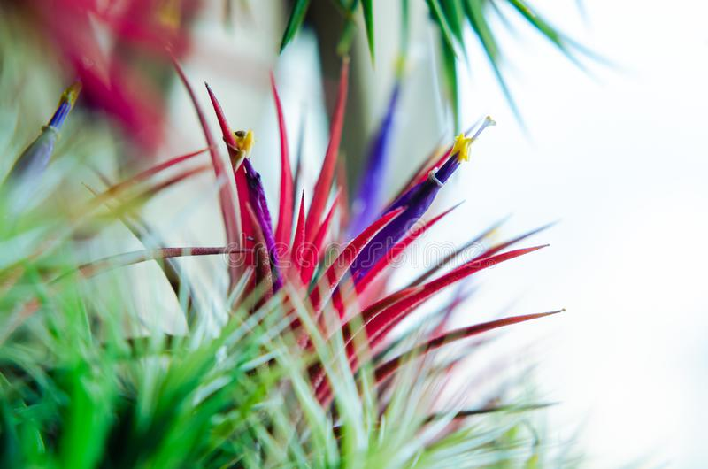 Tillandsia or Air plant which is grows without soil attached with the wood with its colorful flowers.  royalty free stock image