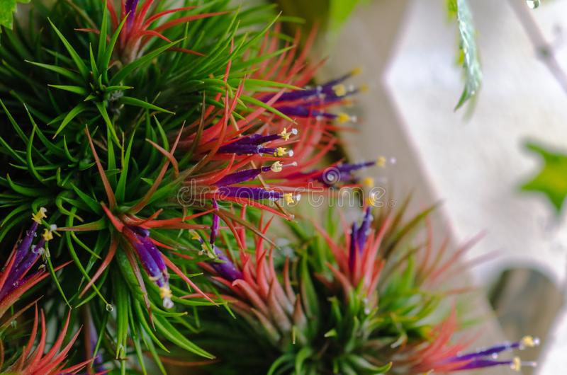 Tillandsia or Air plant which is grows without soil attached with the wood with its colorful flowers.  stock photos