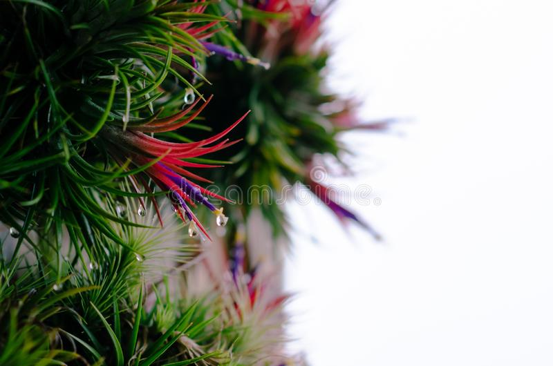 Tillandsia or Air plant which is grows without soil attached with the wood with its colorful flowers.  stock photo