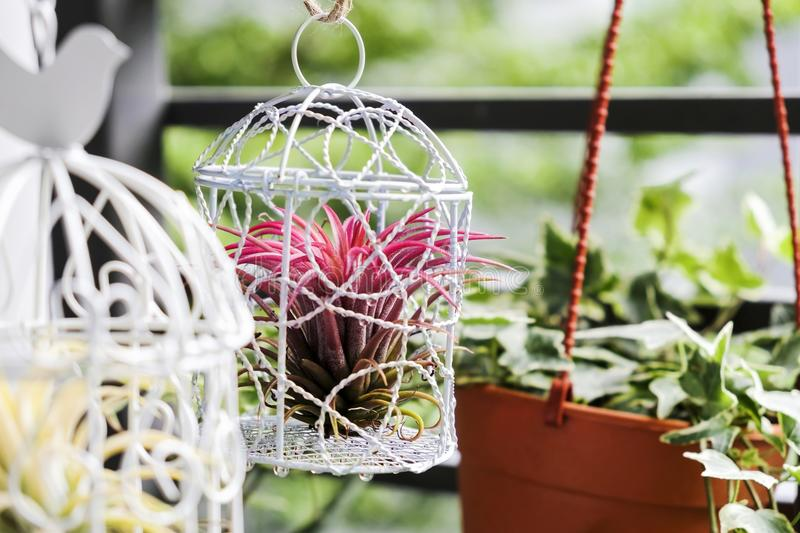 Tillandsia in bird cage decoration in the small garden. At balcony stock photos