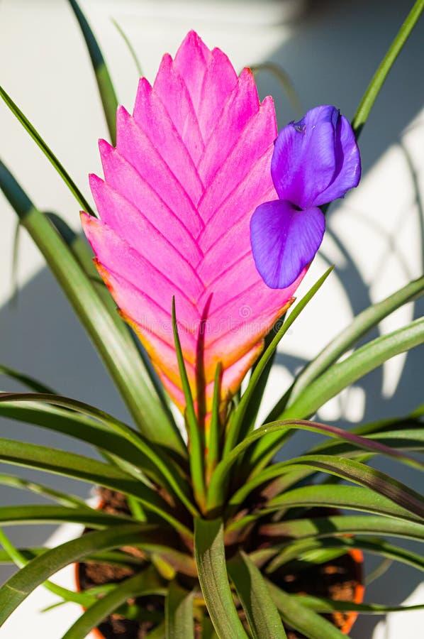 Tillandsia Cyanea Anita - plan rapproch? Le cyanea de Tillandsia est indig?ne en Equateur Il élève l'epiphyte sur des arbres photographie stock libre de droits