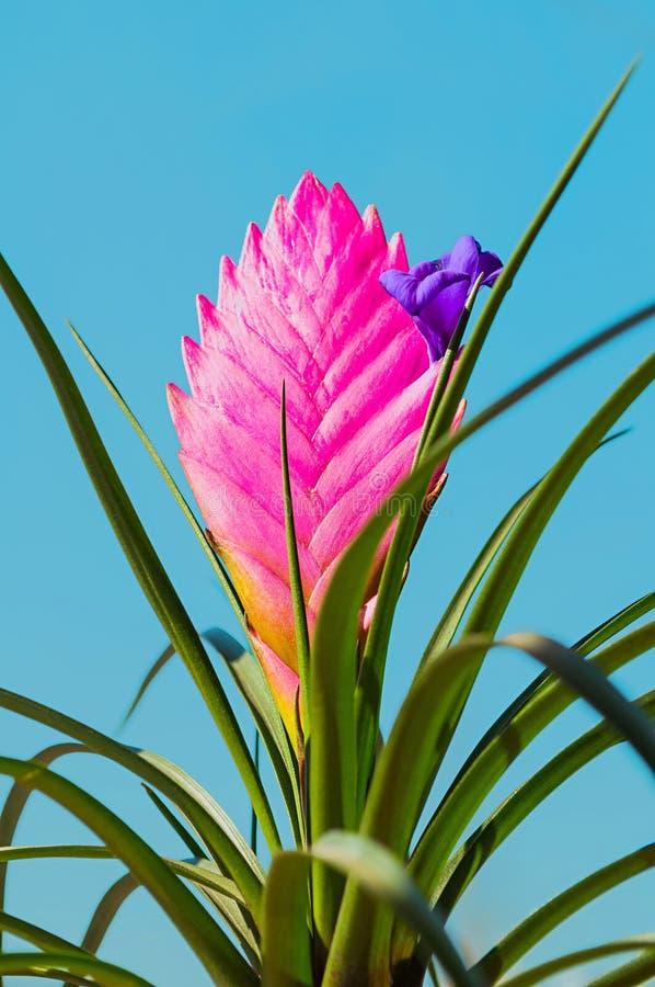 Tillandsia Cyanea Anita - primo piano Il cyanea di tillandsia ? indigeno nell'Ecuador Coltiva il epiphyte sugli alberi in foreste immagini stock libere da diritti