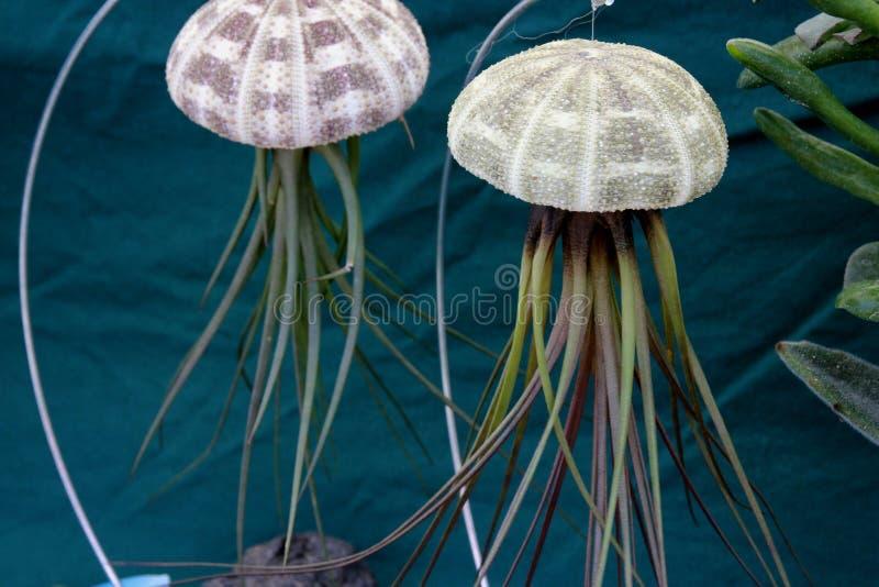 Tillandsia de la planta de aire y decoración de las medusas de la combinación del erizo de mar imagen de archivo