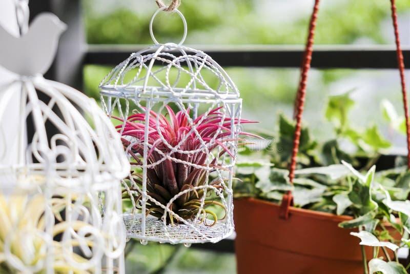 Tillandsia en la decoración de la jaula de pájaros en el pequeño jardín fotos de archivo