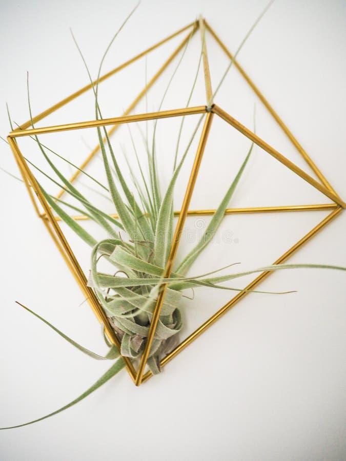 Tillandsia Gardnerii L lotniczej rośliny obwieszenie w złotym właścicielu na a zdjęcie stock