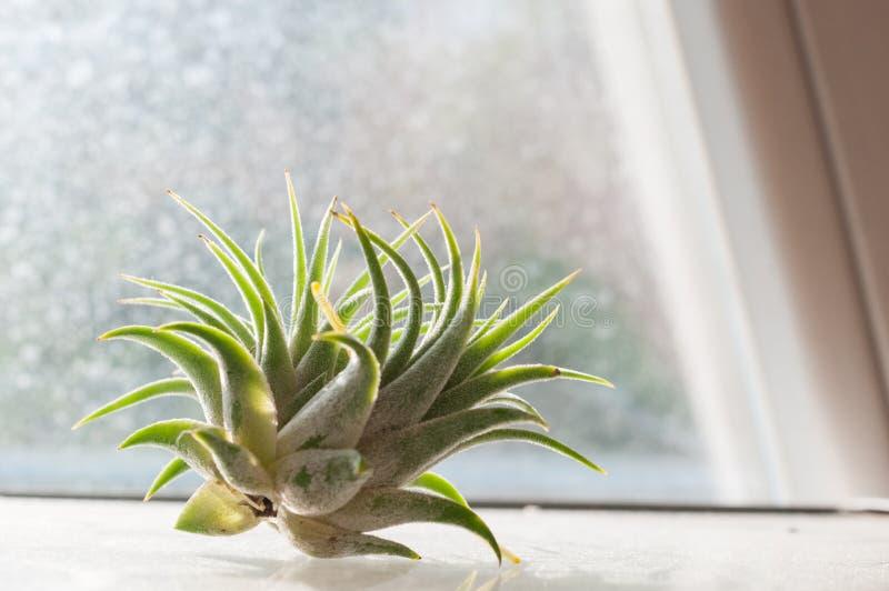 Tillandsia ionantha, το ουράνιο φυτό - επιφύτης χωρίς ρίζα στοκ εικόνα με δικαίωμα ελεύθερης χρήσης