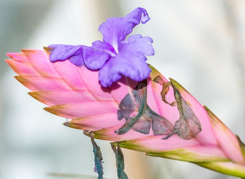 Tillandsia Lindenii, Bromeliaceae стоковые фотографии rf