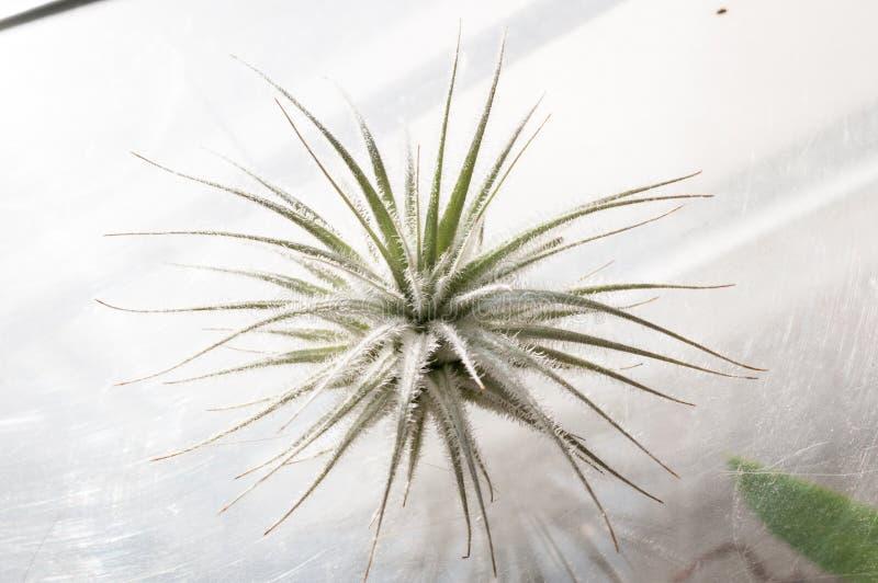 Tillandsia tectorum, niebo - epifit bez korzenia obraz stock