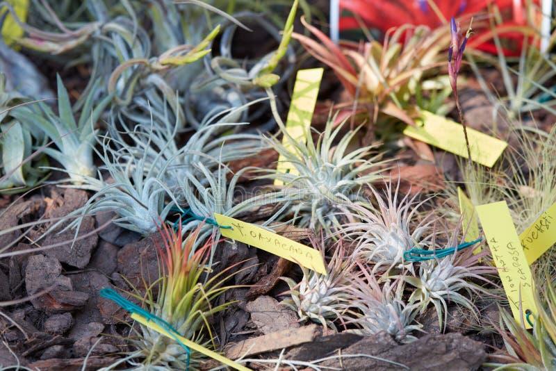 Tillandsia, tropische luchtinstallaties in een de lentemarkt stock afbeeldingen