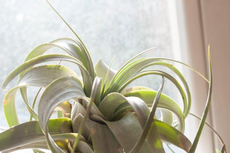Tillandsia xerographica, una pianta per il cielo - epifite senza radice fotografia stock
