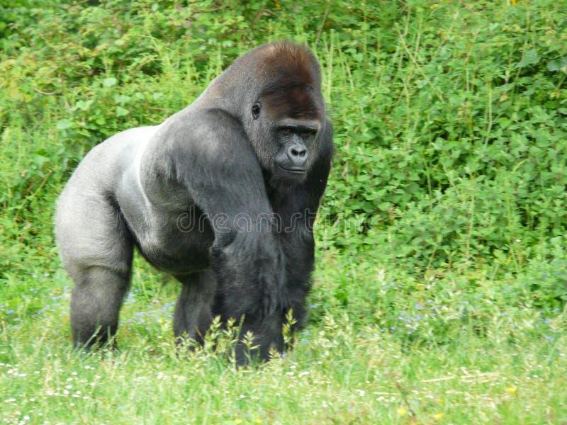 tillbaka gorillamanligsilver arkivfoto