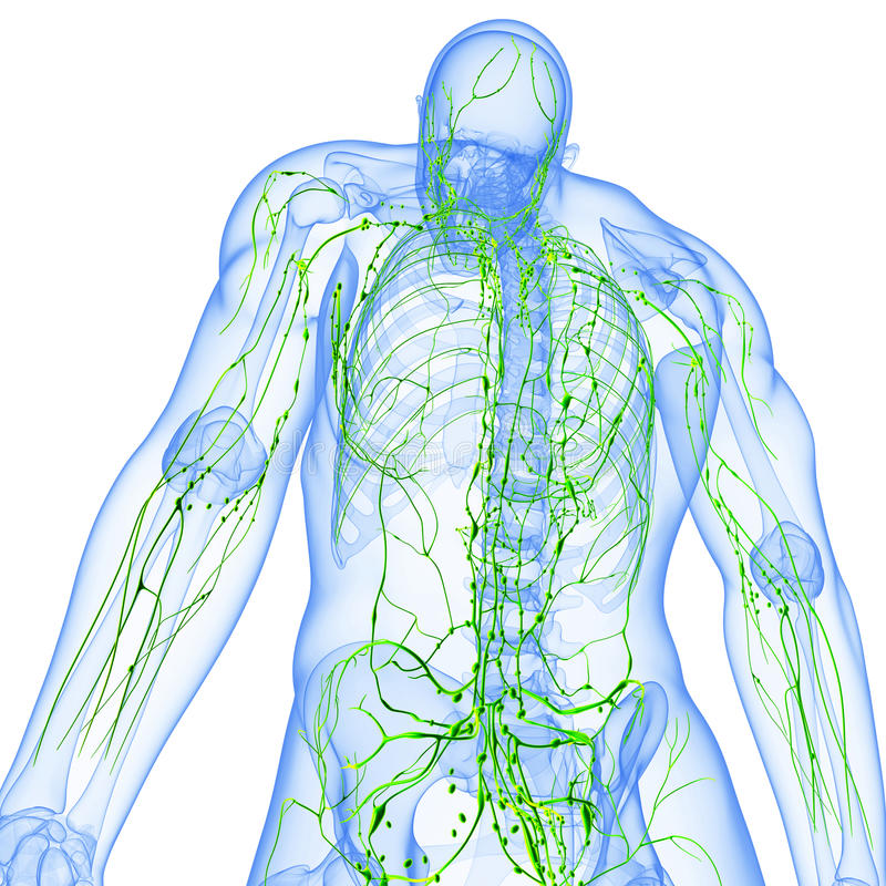 Tillbaka sikt av det genomskinliga lymphatic systemet stock illustrationer
