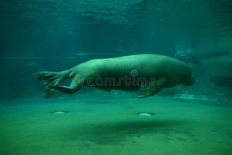tillbaka simningvalross royaltyfri fotografi