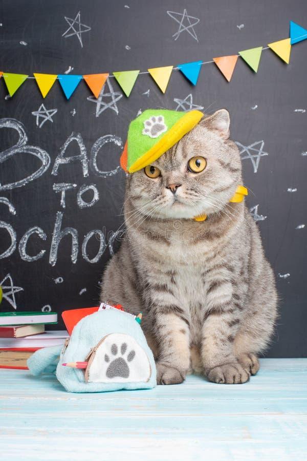 Tillbaka till skola, en katt i ett lock och med en ryggsäck på bakgrunden av svart tavla- och skolatillbehören, begreppet av royaltyfria bilder