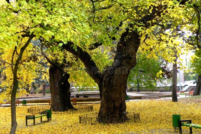 Tilleul à Chisinau photos libres de droits