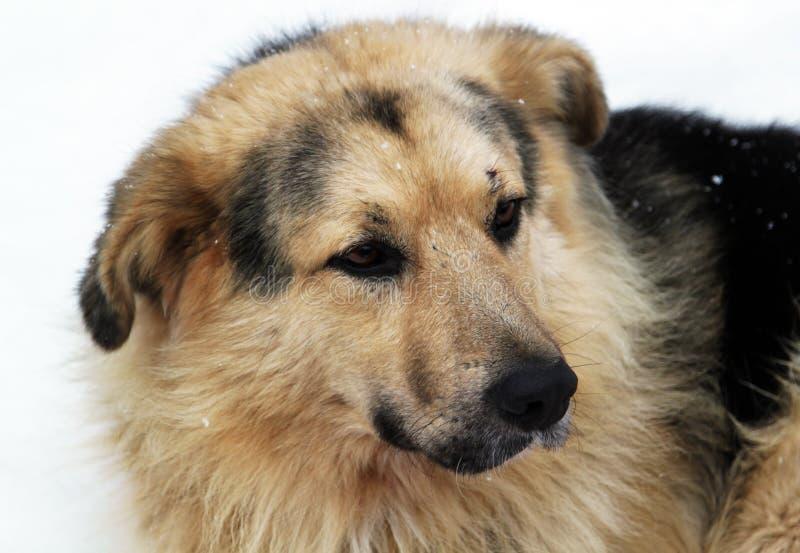 Tillfällig hund med ledsna ögon arkivbild