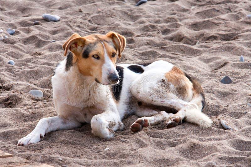Tillfällig hund på stranden som ligger i sand arkivbild