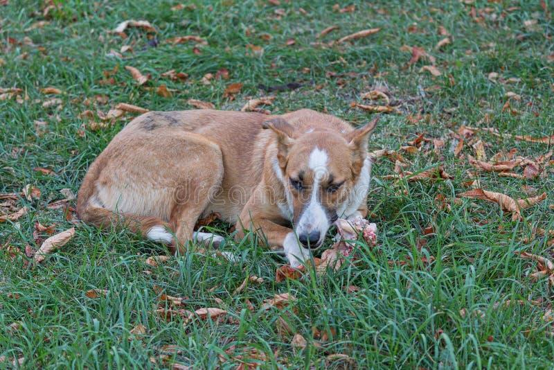 Tillfällig hund som ligger på gräset arkivfoton