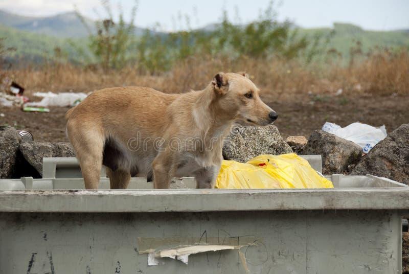 Tillfällig hund som söker efter mat i en dumpster royaltyfri fotografi