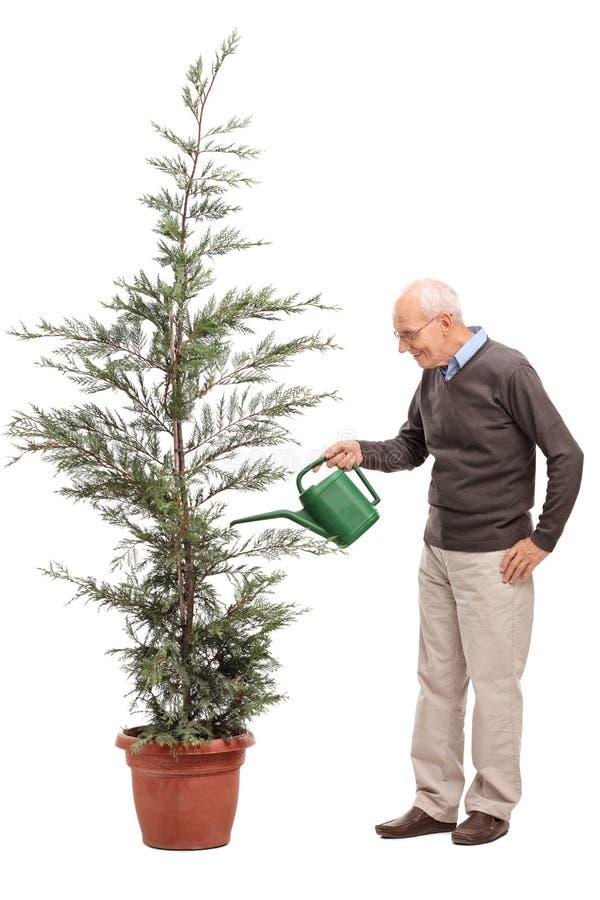 Tillfällig pensionär som bevattnar ett barrträd arkivbilder