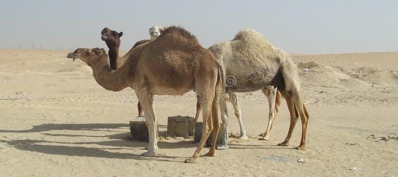 Tillfälliga kamel i den saudiarabiska öknen royaltyfria foton